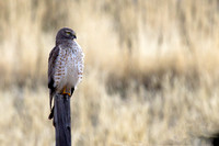 Northern Harrier Waits for Breakfast